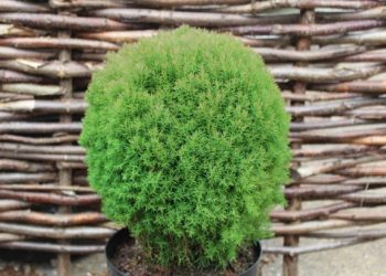 thuja-occidentalis-teddy-570x428