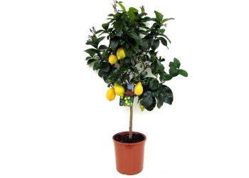 700 limun