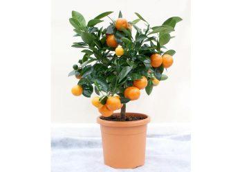 700 narandja