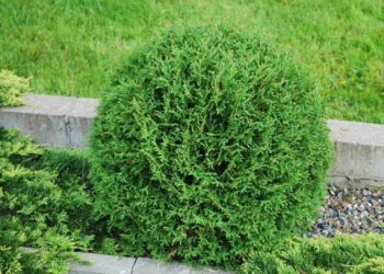 Thuja-Occidentalis-Tiny-tim-570x428