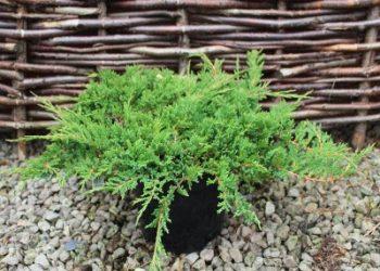 juniperus-horizontalis-prince-of-wales